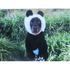 Is it too early to start planning our Halloween costume? to Redbarn's 2013 Furreaky Pet Costume Contest. Pet Costumes, Funny Halloween Costumes, Funny Cats, Funny Animals, Pet Humor, Costume Contest, Big Dogs, Mans Best Friend, Playing Dress Up