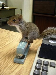 I've always wondered why you NEVER see baby squirrels!  Apparently they are office assistants until they're old enough to forage on their own in the wild?!
