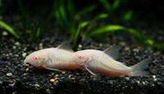 albino corydoras