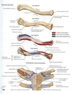 Upper Limb Anatomy, Anatomy Bones, Radiology Student, Skeleton Anatomy, Human Anatomy Drawing, Nursing School Notes, Medicine Student, Medical Anatomy, Medical Illustration