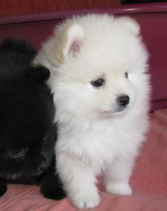 German Spitz (Klein) Puppy