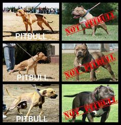 NOT A PITBULL, exactly, it's a large English Staffordshire bull terrier, do not get confused! Perros Bull Terrier, Perros Pit Bull, Bull Terrier Dog, Staffy Dog, Big Dogs, I Love Dogs, Pitbull Americano, English Staffordshire Bull Terrier, Hunting Dogs