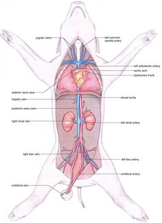 biology corner fetal pig dissection: great resource to help plan procedure  and student materials for