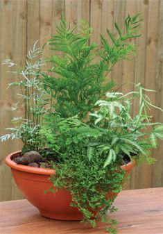 Planting and repotting ferns