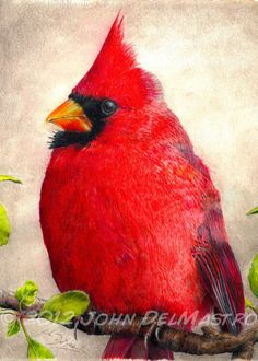 Fine Art Colored Pencil Drawings | ACEO ATC size print , color pencil drawing, cardinal, bird art print ...