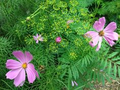 dill with cosmos in the edible landscape