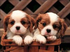 King Charles Cavalier - the most adorable breed of dogs ever~ I remember when my baby was this small 15 years ago!!!