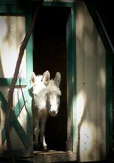 Ohio's home of the blue-eyed white ivory donkeys! Courtesy: Cabinwood Farm Miniature Donkeys, Middlefield, OH (USA).