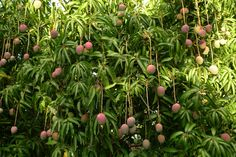 There's nothing like the smell/taste of a mango freshly cut of the tree... :-) pure joy!