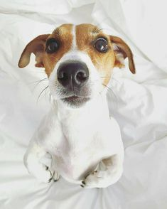 "2,475 Likes, 13 Comments - Jack Russell Daily (@jackrussell_daily) on Instagram: ""Want unique Jack Russell products? CLICK the link in my bio to get it! Photo by:…"""