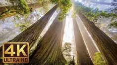 The Tallest Trees on Earth - 4K Nature Documentary Film | Redwood Nation...
