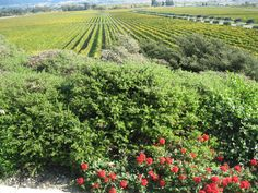 The view from Gloria Ferrer Winery across the Carneros Valley Floor in Sonoma Valley. Great methode champagne makers.