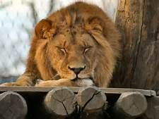 Lion Imagies - Yahoo Image Search results