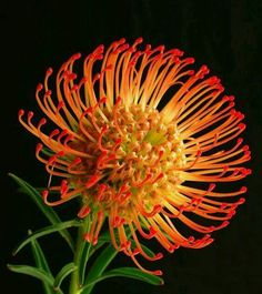- Leucospermum cordifolium, common name Pincushion Protea. A species of flowering … Leucospermum cordifolium, common name Pincushion Protea. A species of flowering shrub found only in the West Cape of South Africa. Tropical Flowers, Exotic Flowers, Amazing Flowers, Wild Flowers, Australian Native Garden, Australian Plants, Fleur Protea, Fleur Orange, Protea Flower