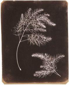 FOX TALBOT William Henry (1800-1877), Rameau d'Asparagus, vers 1840, photogramme, 22,9x18,4 cm (le photogramme est un procédé inventé en 1802 par Thomas WEDGWOOD ; il s'agit d'une image réalisée sans appareil photo : ici, les ombres portées des plantes ont laissé une empreinte négative sur le papier photosensible qui, exposé brièvement à la lumière, a noirci sauf aux emplacements recouverts).