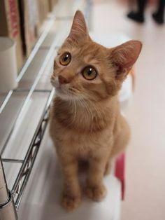 スコ一族六猫衆(東大宮・猫の部屋)の画像 | マロンの物語 feat.猫カフェ Cats