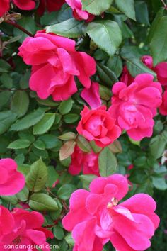 Knock Out Roses- any brown thumb can grow these. Seriously hard to kill! Woo-hoo!!!!
