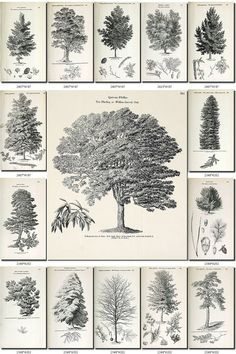 TREES-2-bw Collection of 198 vintage images black-and-white Oak Willow Pine Aspen Fir Poplar Elm High resolution digital download printable data-share-from=listing > <span class=etsy-icon