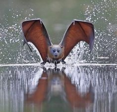 grey-headed flying bat Flying Fox of Australia. This is a spectacular photo! 8a36a6fae705a
