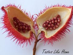 Seeds, Seeds, Seed pods!  Annatto Seeds