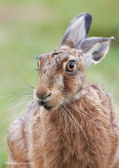 Brown hare - Wildlife Photographic Journals