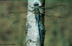 1. Aeshnidae(darners) order Odonata - eyes meet at back of head, unlike gomphids and lybellulids, most are large - beneficial to humans in the way that they prey on mosquitoes, and are voracious eaters