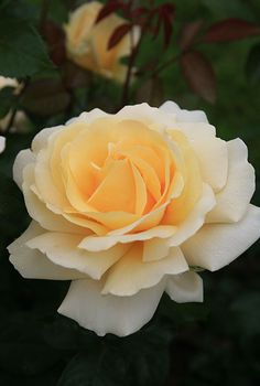 *****Winter Sun - A white rose with yellow centre. Excellent blackspot resistance, grown in partial shade all year, healthy foliage, large blooms. Slightly fragrant. Flowers last through heavy rain conditions.