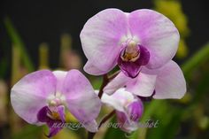 New Zealand WOW!: Cream Violet Purple Lip Charming Orchids