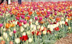 Campo di tulipani in Italia .
