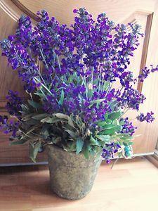 1000 images about lavender potted on pinterest lavender lavender plants and lavender soap. Black Bedroom Furniture Sets. Home Design Ideas