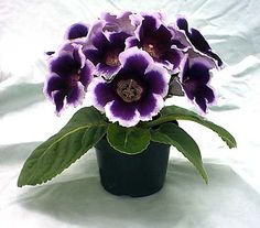 Gloxinia, African Violet's cousin.