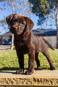 Chocolate lab puppies are the cutest.