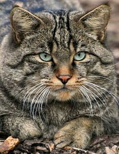 the cat's meow. I Love Cats, Big Cats, Cool Cats, Cats And Kittens, Tabby Cats, Pretty Cats, Beautiful Cats, Animals Beautiful, Cute Animals