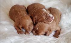 Meet our adorable Cavalier and Cavapoo puppies for sale. All pups have a Health Guarantee and are Well Socialized by our family at Willow Ridge farm! King Charles Puppy, King Charles Spaniel, Cavalier King Charles, Forever Puppy, Cavapoo Puppies For Sale, Poodle Mix, Puppy Food, Therapy Dogs, Receiving Blankets