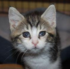 BYZANCE Type : Chat domestique poil court Sexe : Femelle Age : Junior Taille : Petit Lieu : Nord - 59 (Nord-Pas-de-Calais)  Refuge : Trésor de vies (Nord)           BYZANCE a été trouvée avec son frère ACHILLE  dans les rues, née d'une chatte sans doute abandonnée.