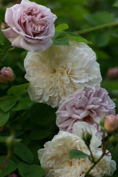 Large-flowered Climbing Roses: Rosas 'Aschermittwoch' AKA 'Ash Wednesday' (Germany, 1955) and 'Sombreuil' (origins unknown)