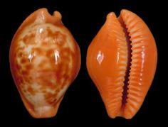 Proadusta surinamensis. 39.3 mm. Colombia, Guajira Peninsula.