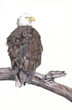 Bald Eagle painting Print of watercolor painting by LouiseDeMasi, $20.00