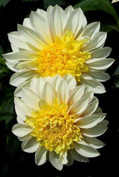 ✯ Dahlia Paso Doble. This is a beauty- grew it last year and had masses of cut flowers!