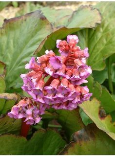 B > Bergenia - Species - The Beth Chatto Gardens Beth Chatto, Magenta Flowers, Herbaceous Perennials, Elephant Ears, Leaf Coloring, Shade Plants, Shade Garden, Woodland, Nature
