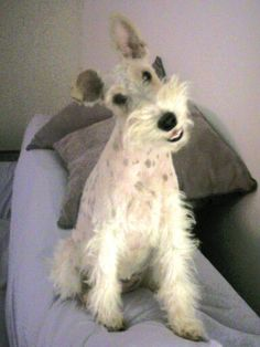 Wire Fox Terrier - Say cheese Miss P