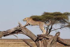 Cheetahs, African Safari, Africa Travel, Big Cats, Tanzania, South Africa, Giraffe, Wildlife, Animals