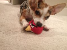 Tesla dapple chiweenie loves angry birds.