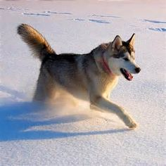 One of the first things that come to mind when someone hears #Alaska: Alaskan Huskies! These dogs are famous for their warm fur and fast feet, which is why many of them are on teams for the #Iditarod Dog race from Anchorage to Nome.