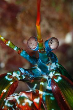 Peacock mantis shrimp (Odontodactylus scyllarus) by Joris van Alphen Photography on Flickr.