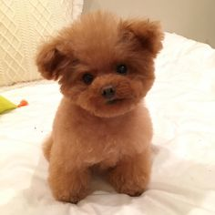 "Poodle Dogs ""Poodle puppy or teddy bear? How adorable. Dog Training Methods, Basic Dog Training, Baby Animals, Cute Animals, Puppy Obedience Training, Tea Cup Poodle, Easiest Dogs To Train, Dog Behavior, Pet Dogs"