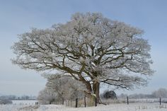 oak tree with hoar frost