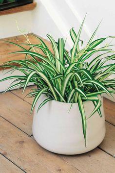 ว่านไม้ปลูกเสริมโชค ใครไม่มีราศีเศรษฐีไม่จับนะจ๊ะ Small Indoor Plants, Outdoor Plants, House Plants Decor, Plant Decor, Indoor Garden, Garden Pots, Plantas Indoor, Chlorophytum, Decoration Plante