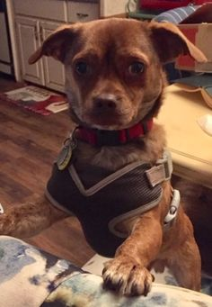 Meet Chase, an adopted Pug & Dachshund Mix Dog, from Homeward Bound Pet Rescue in Irmo, SC on Petfinder. Pug Mix, Dachshund Mix, Crate Training, Pet Care Tips, Pet Search, Helping The Homeless, Special Characters, Animal Rescue, Pet Adoption