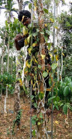 WWOOFing at The Green Gardens, Wayanad,Kerala. #wwoof #wwoofindia #pepper #farm
